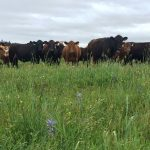 Cattle at Colvin Ranch Spring 2015 (S. Hamman)
