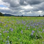 Colvin Ranch Camas Bloom (S. Hamman)