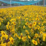 Puget Balsamroot at Violet Prairie Farm (S. Smith)