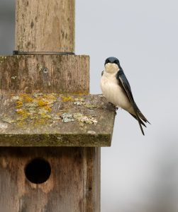 Tree Swallow on a Blue Bird Box Photographed by Dennis Meyer