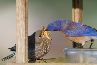 This image from 2013 illustrated the feeding process for new fledglings.
