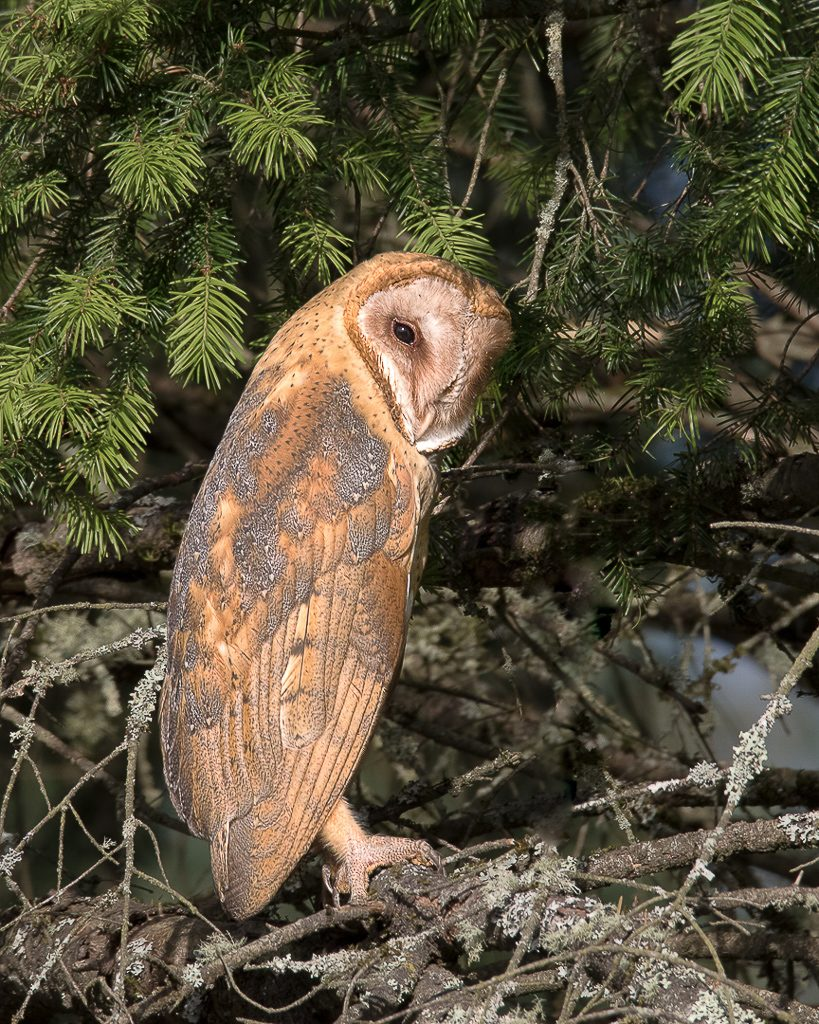 Barn Owl, fairly common, but rarely seen Photograph by Dennis Plank