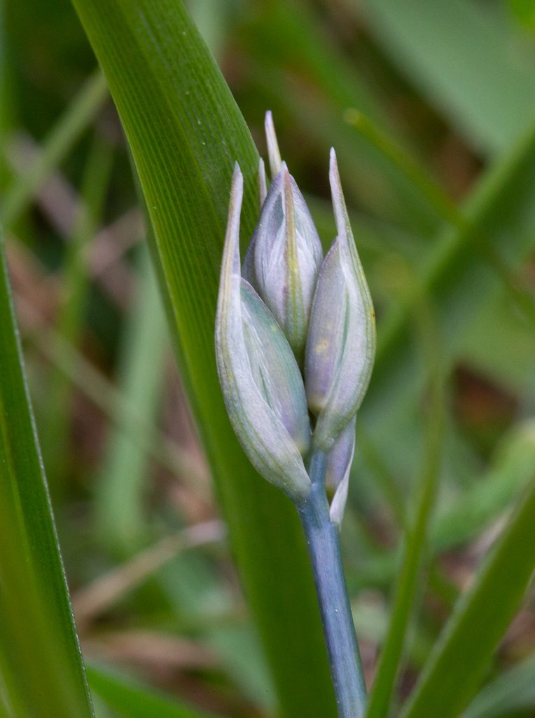 First tiny Camas bud found on our property