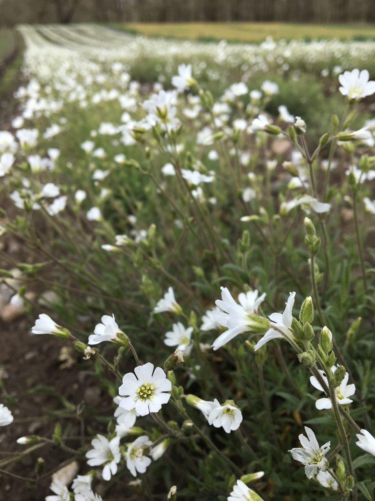Cerastium arvense, field chickweed by Ruth Mares