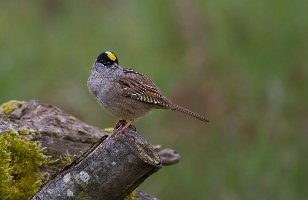 Golden-crowned Sparrow, a winter resident Photograph by Dennis Plank