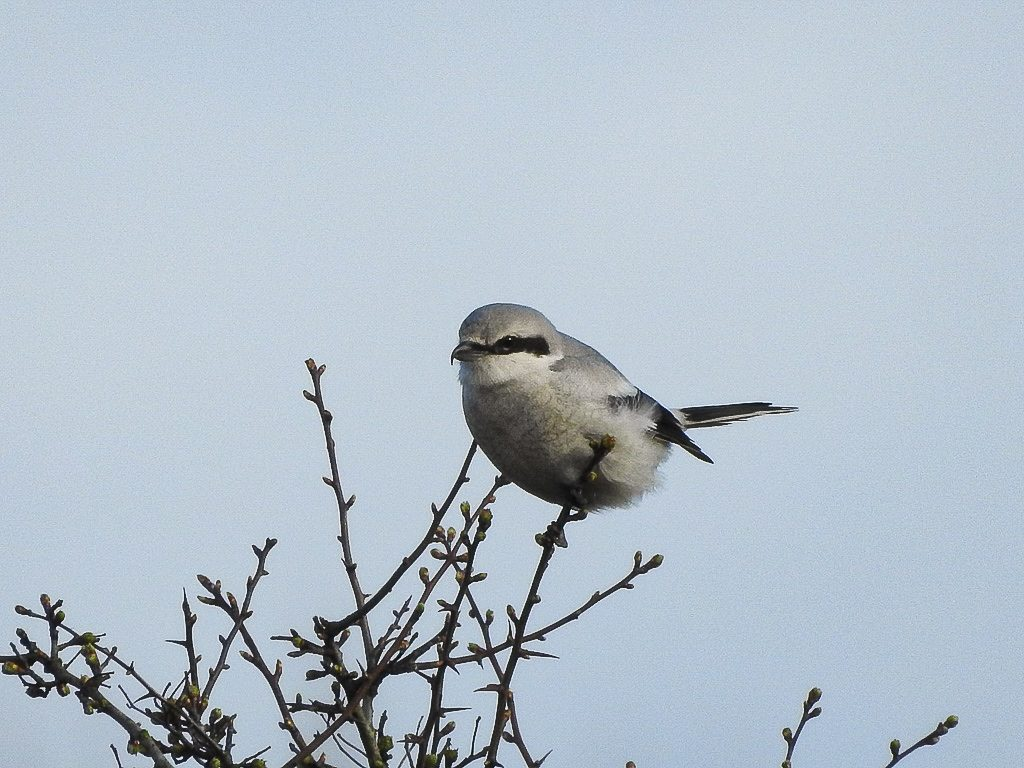 Northern Shrike, a rare visitor Photograph by Tim Leque