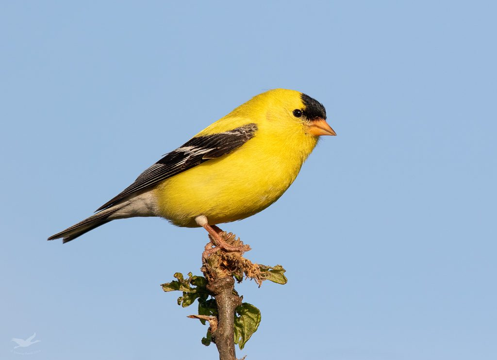 Adult male American Goldfinch in prime breeding plumage.