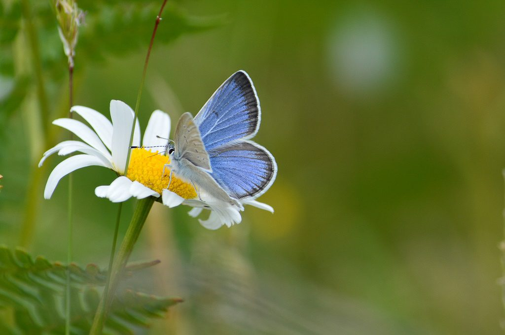 """Puget blue male nectaring on oxeye daisy (Leucanthemum vulgare). If you look closely, you can see the proboscis (i.e. butterfly """"tongue"""") in the flower.  Photo by Rachael Bonoan"""