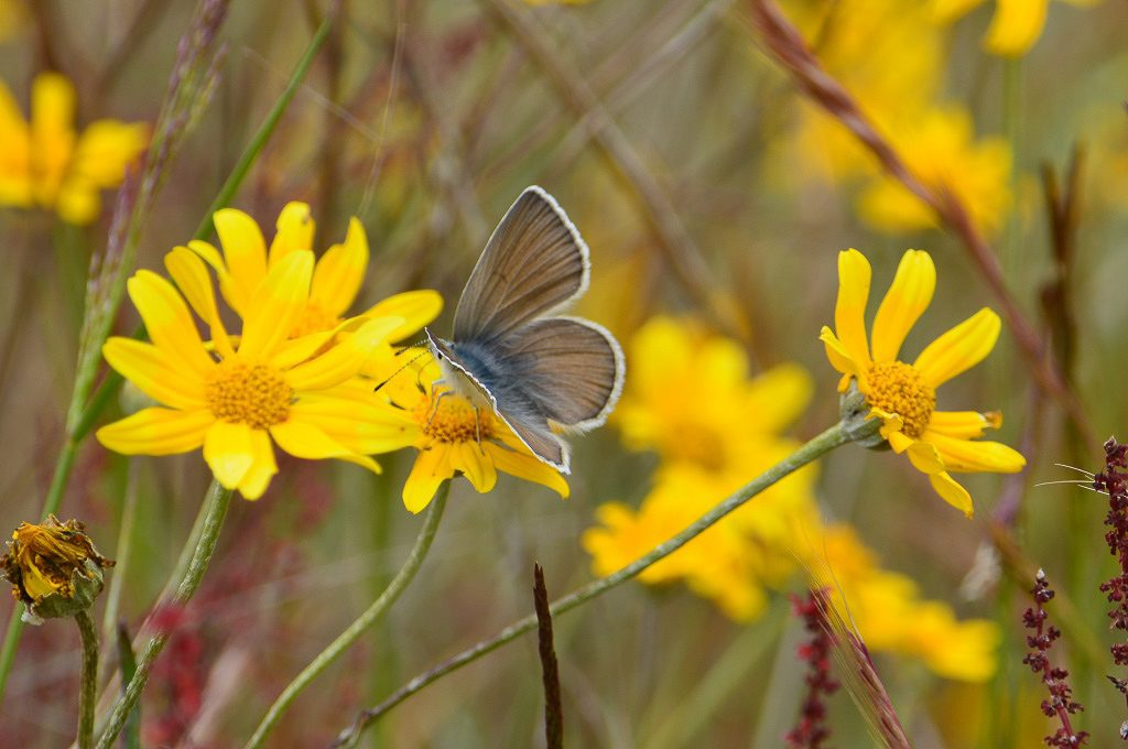 "Puget blue female nectaring on Oregon sunshine (Eriophyllum lanatum). If you look closely, you can see the proboscis (i.e. butterfly ""tongue"") in the flower.  Photo by Rachael Bonoan"