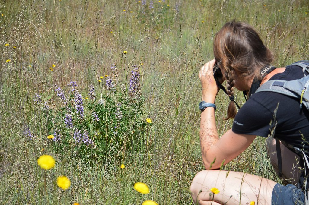 Hanna following a Puget blue butterfly. Can you spot the butterfly on the lupine? Photo by Rachael Bonoan