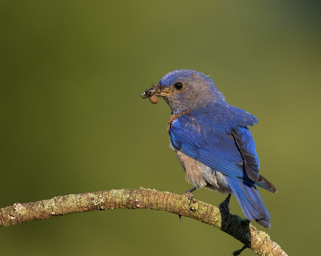 Western Bluebird with Spider for Young, photo by Dennis  Plank