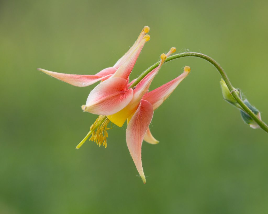 Red Columbine (Aquilegia formosa).  An unusual color variation from the Glacial Heritage Preserve in 2016.  Photo by Dennis Plank.