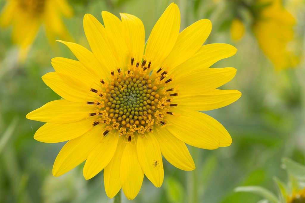 And a pristine Balsamroot from four years ago, photo by Dennis Plank