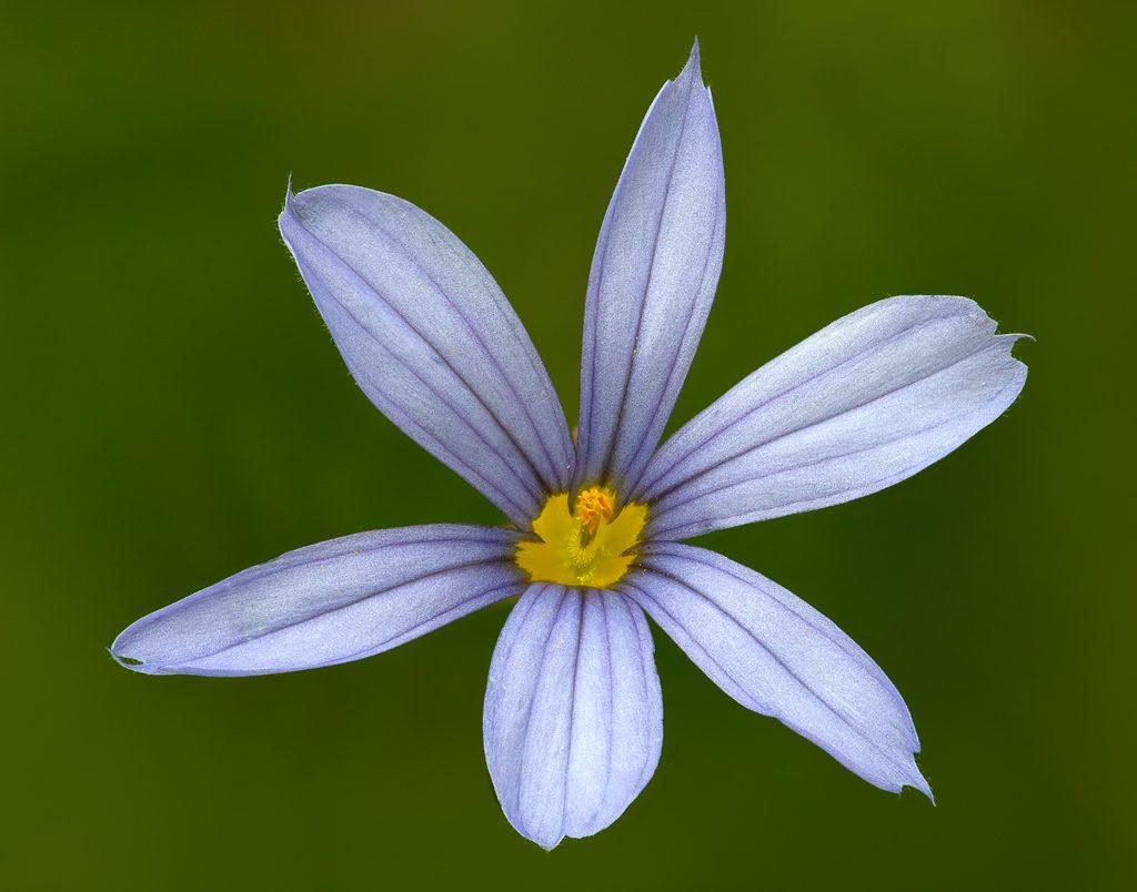 Blue-eyed Grass (Sisyrinchium idahoense).  Photo by Dennis Plank