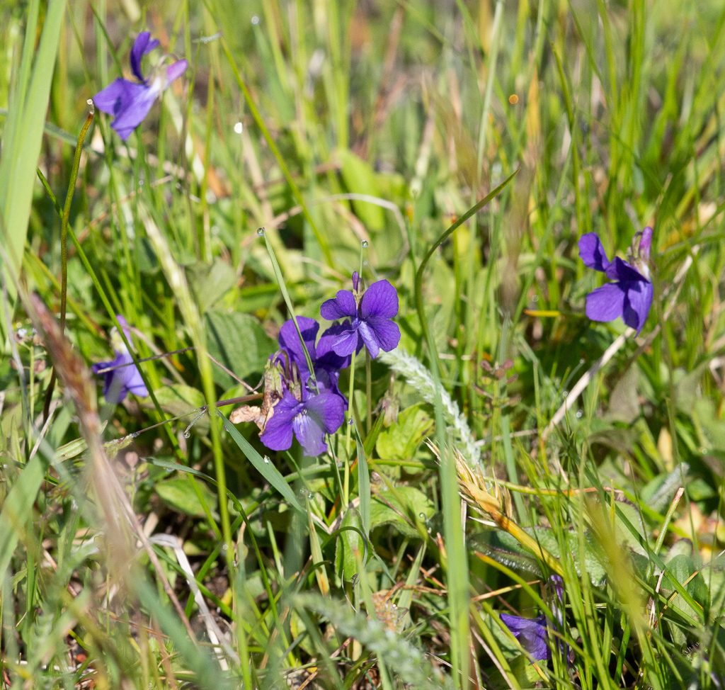 Prairie violets, Viola adunca, photo by Dennis Plank