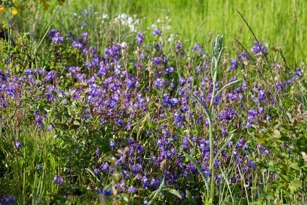 A large patch of Collinsia at Scatter Creek, photo by Dennis Plank