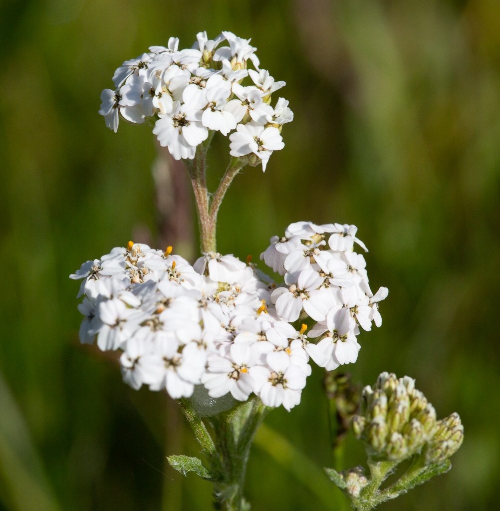 Yarrow in bloom while ours is still tightly closed buds, photo by Dennis Plank