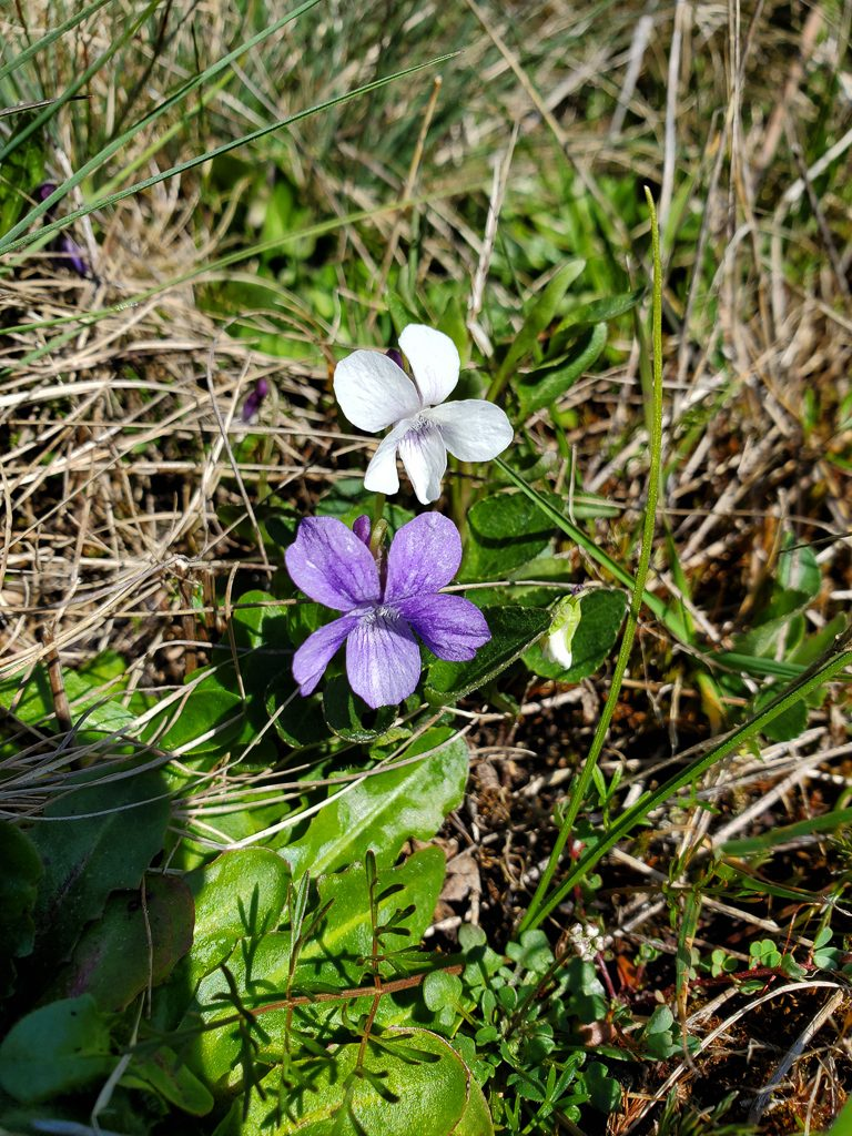 Small Viola adunca (early blue violet) starting to bloom in early spring, Phto by Ivy Clark