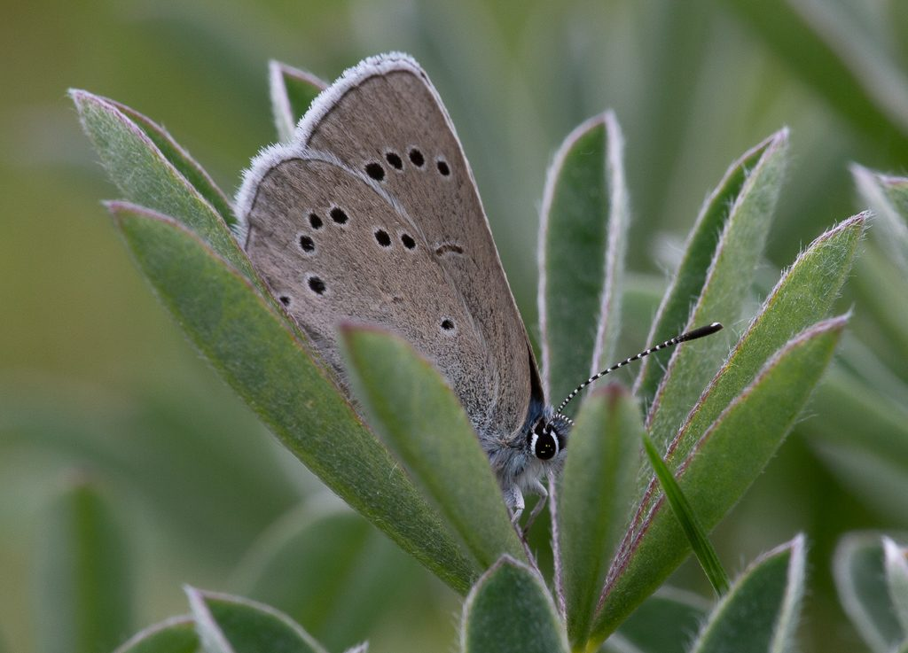 Silvery Blue on Lupine, photo by Dennis  Plank