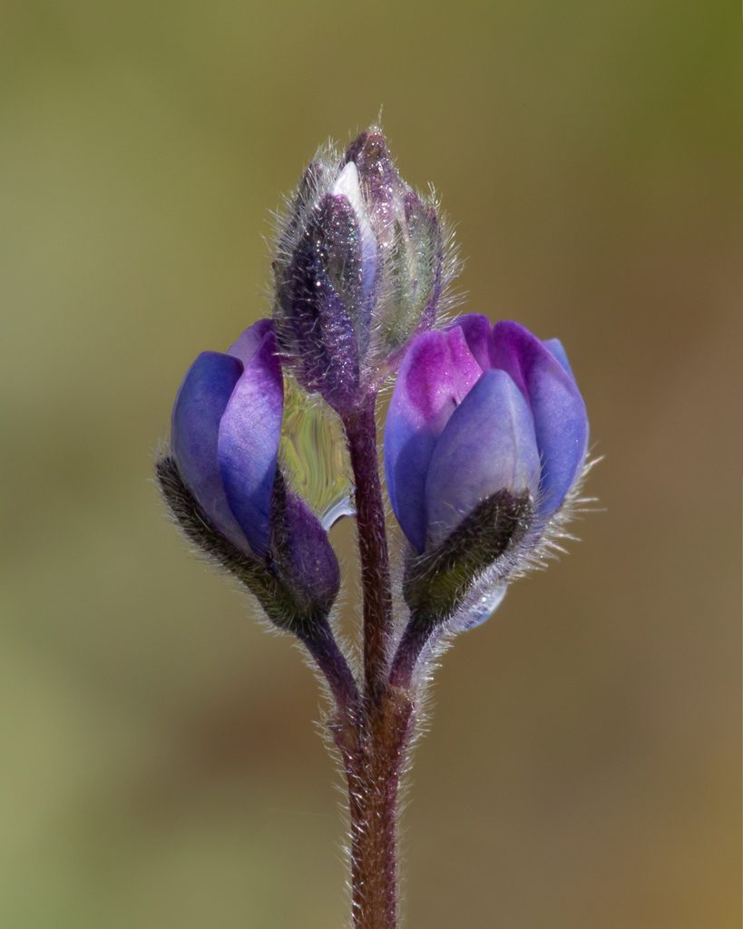 A close-up of the tiny flowers of this plant.  Photo by Dennis Plank