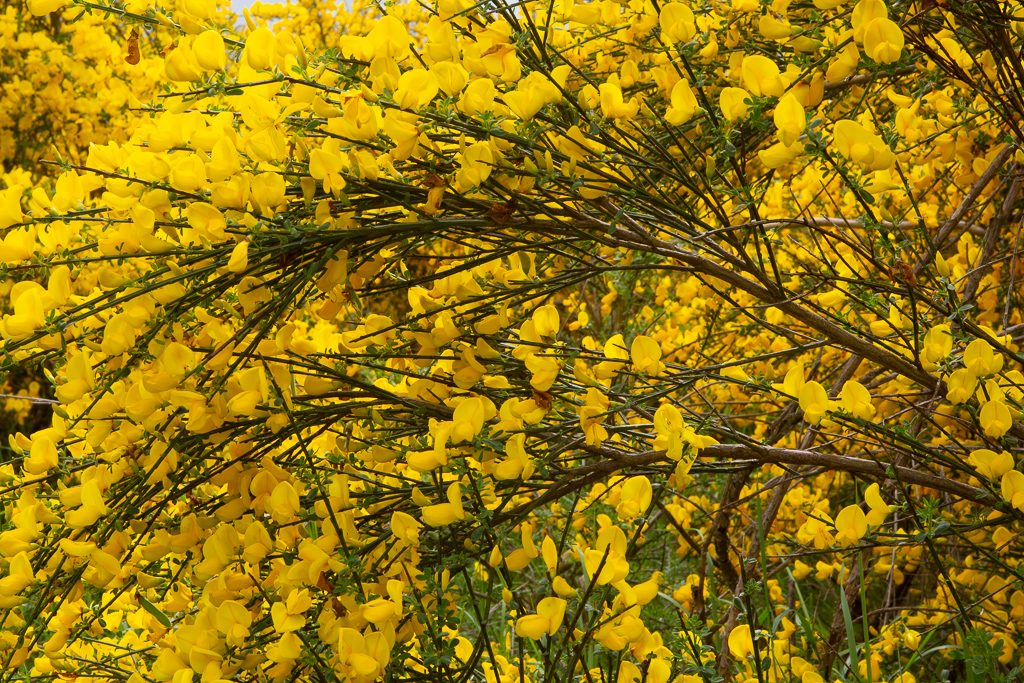 "Scotch Broom in Bloom at a local ""conservation"" set aside for development.  Photo by Dennis Plank"