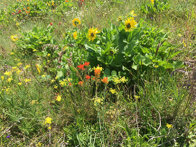 Balsamroot and other Forbs at Glacial Heritage Preserve.  Photo by Sanders Freed