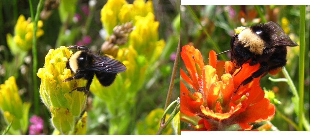 Bumble Bees on levisecta and hispida, Photos by Ivy Clark