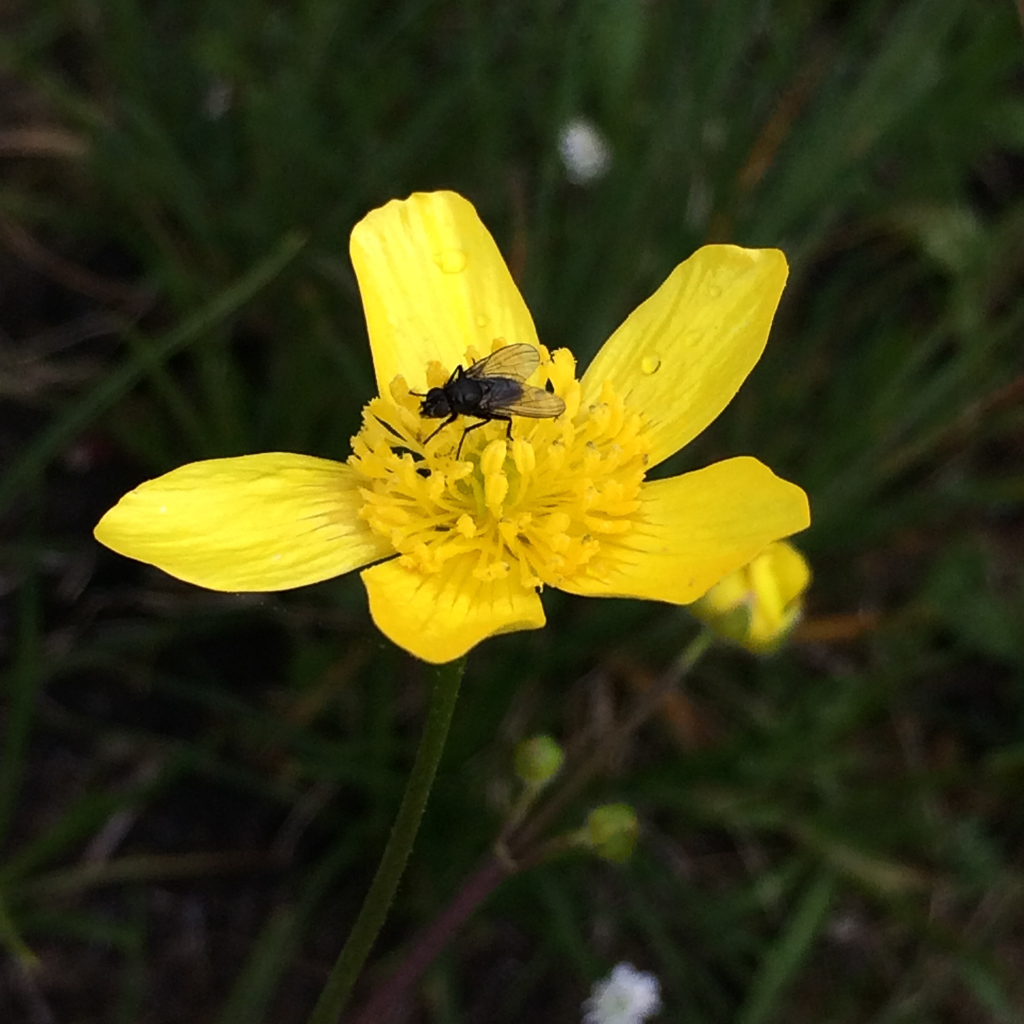 Buttercup with Pollinator, Photo by Sarah Hamman