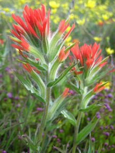 Castilleja hispida, Photo by Ivy Clark