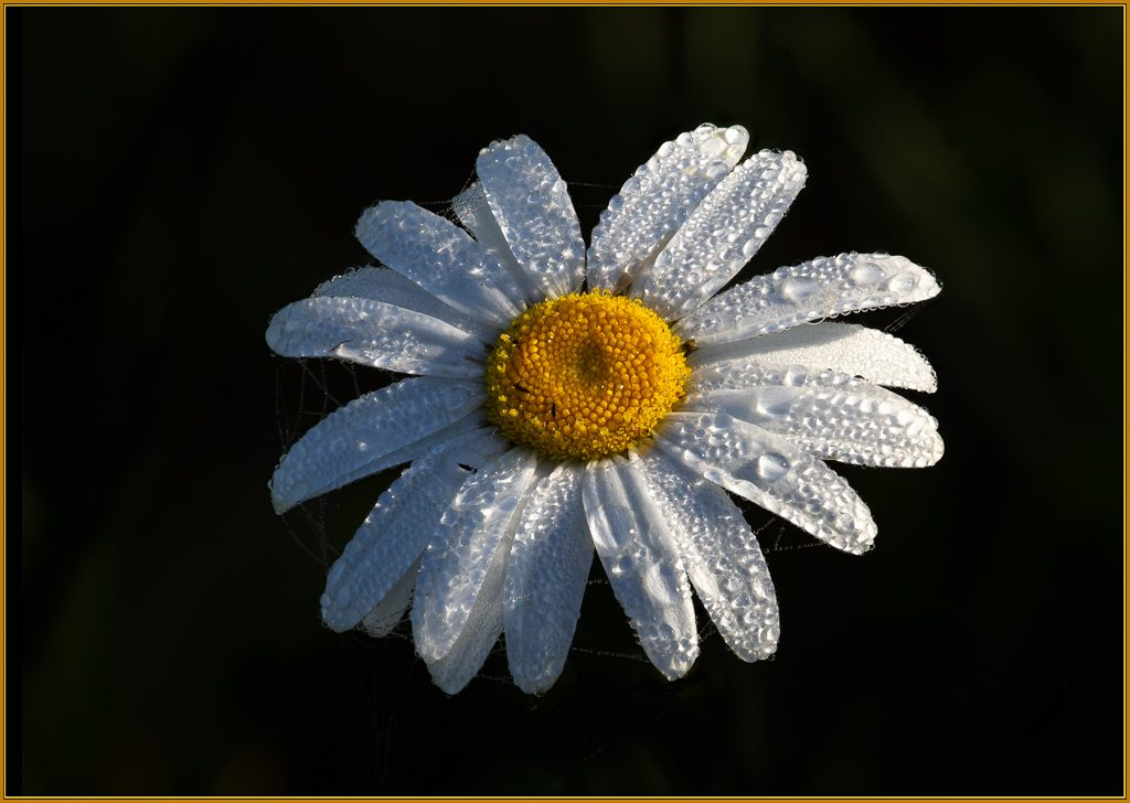 Dew covered Oxeye Daisy in early morning light.  Photo by Dennis Plank