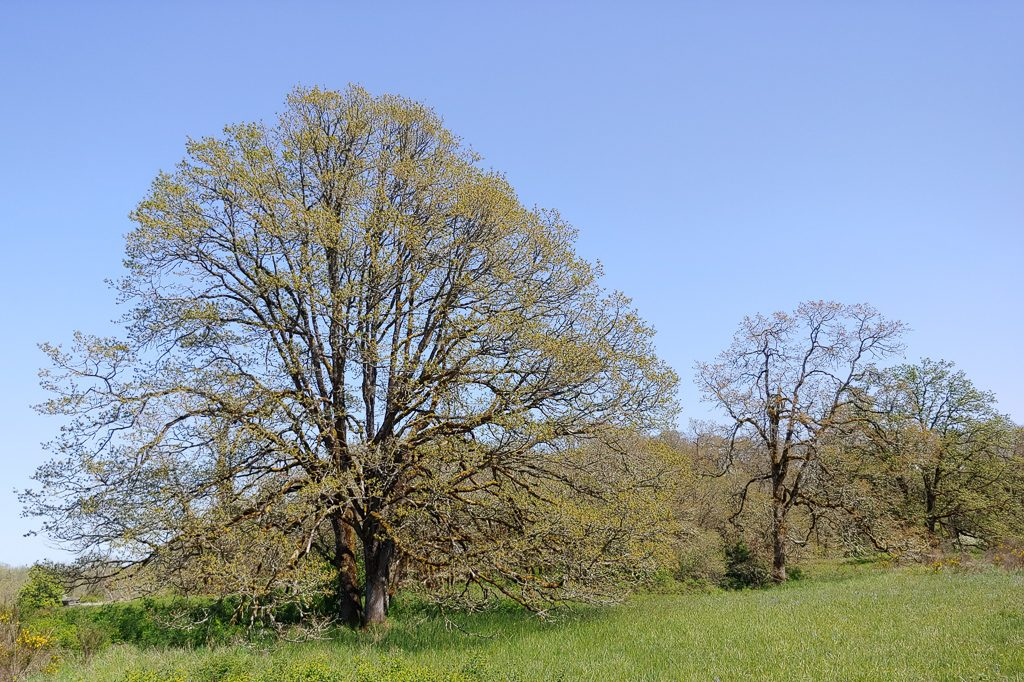 Garry oak (Quercus garryana) stand along Leitner Rd SW, near Scatter Creek. Photo by Deborah Naslund