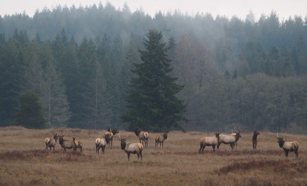 Elk on Glacial Heritage, photo by Bill Funk