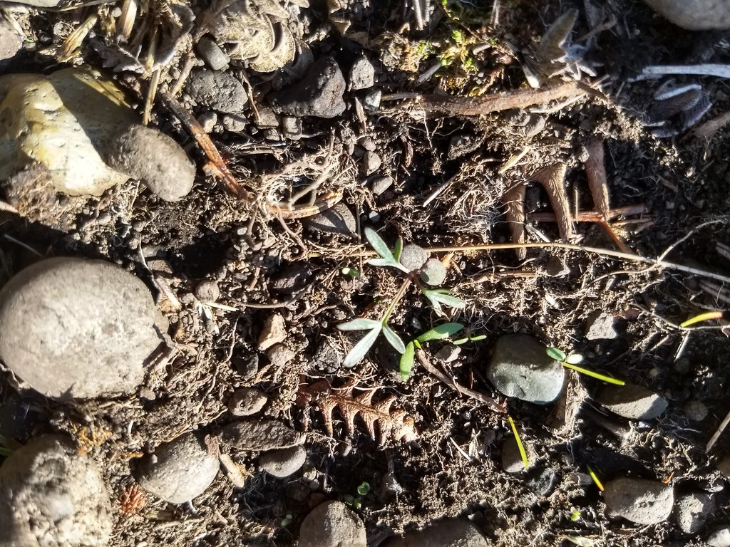 Lomatium utriculatium seedling emerging in early spring post fire. Photo by Ivy Clark