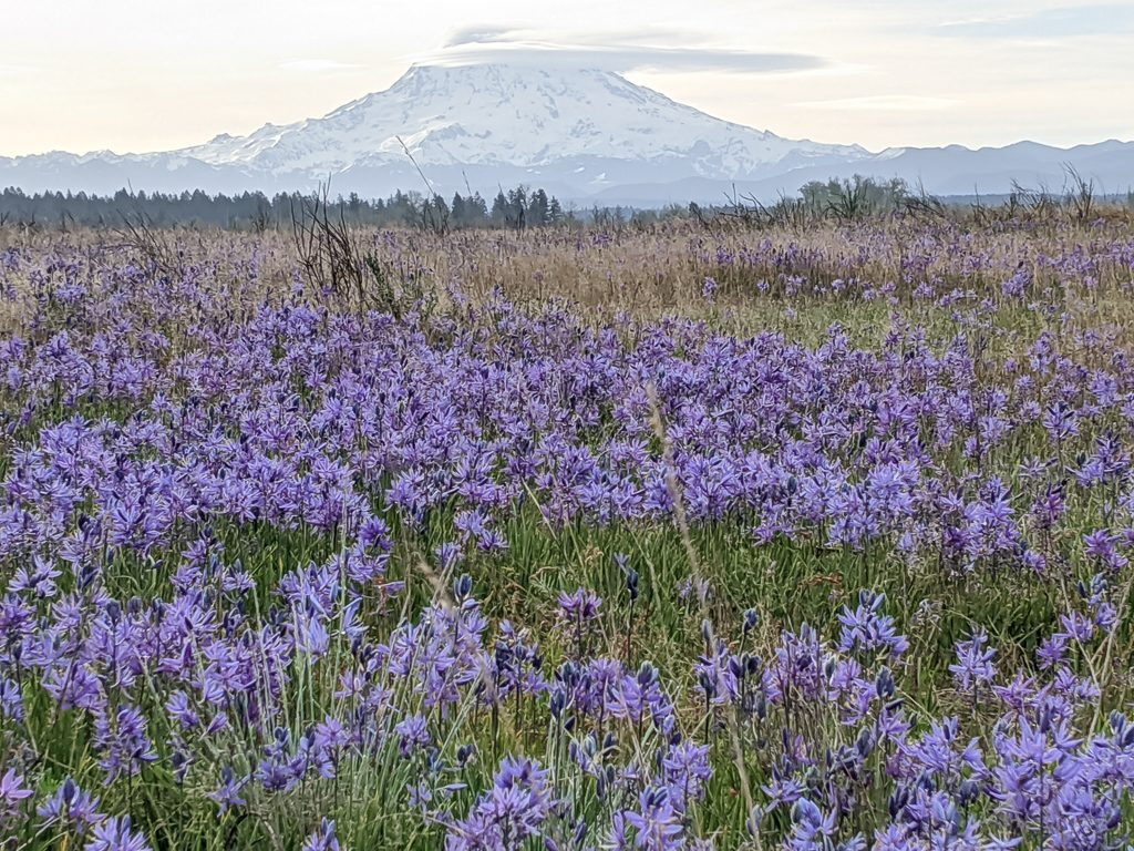Mount Rainier from the Lark Restoration Area.  Photo by Adrian Wolf