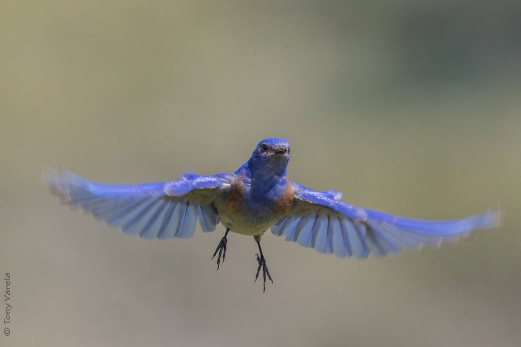 Male Western Bluebird in Flight, Photo by Tony Varela