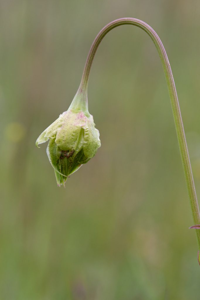 Microceris Bud, Photo by Dennis Plank