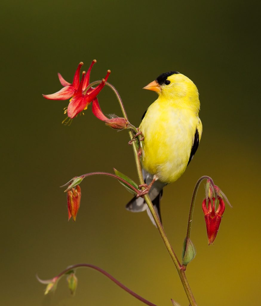 American Goldfinch perching on Columbine.  One of my all-time favorite photographs.  Photo by Dennis Plank
