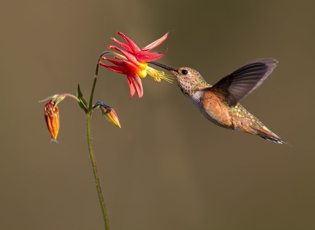 Hummingbird nectaring on Columbine in my garden.  Photo by Dennis Plank