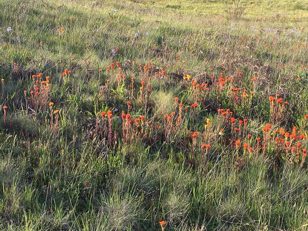 Paintbrush at Glacial Heritage Preserve, Photo by Sanders Freed