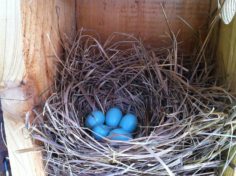 Five Beautiful Blue Eggs-More Bluebirds on the Way, unknown photographer