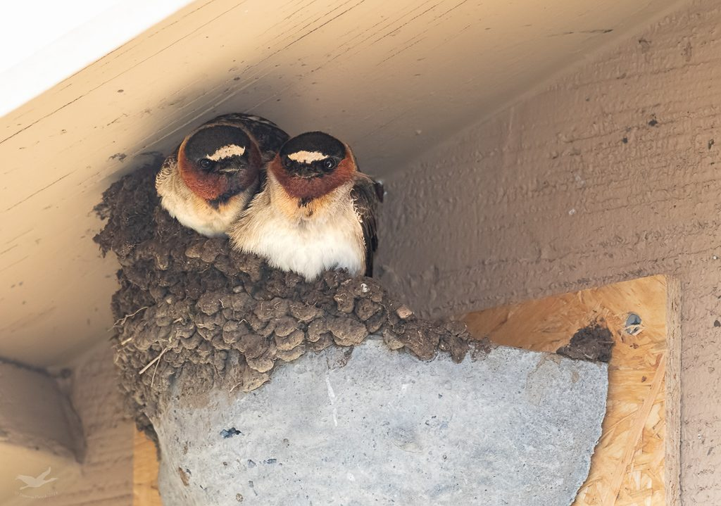 Cliff Swallows on nest cup from last year.  Photo by Dennis Plank