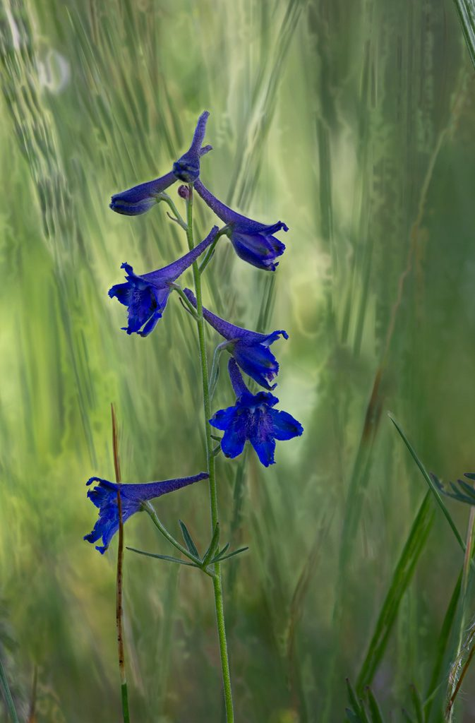 Upland Larkspur, photo by Dennis Plank