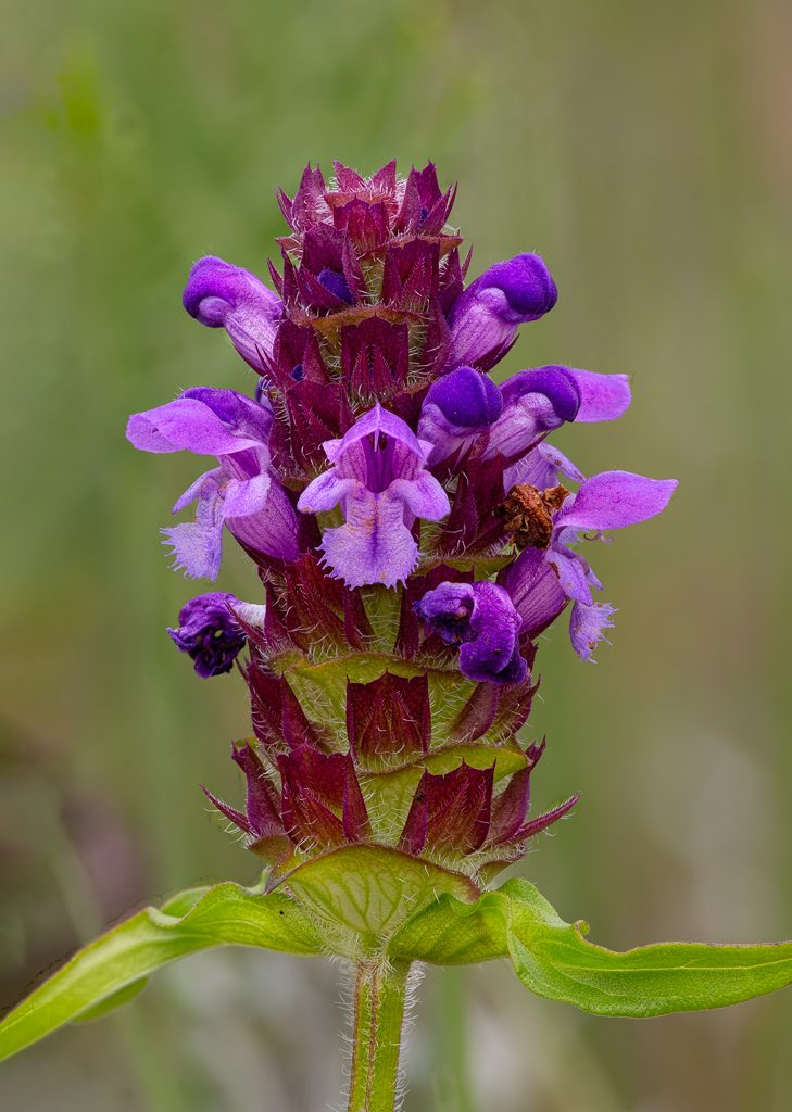 Self-heal, photo by Dennis Plank
