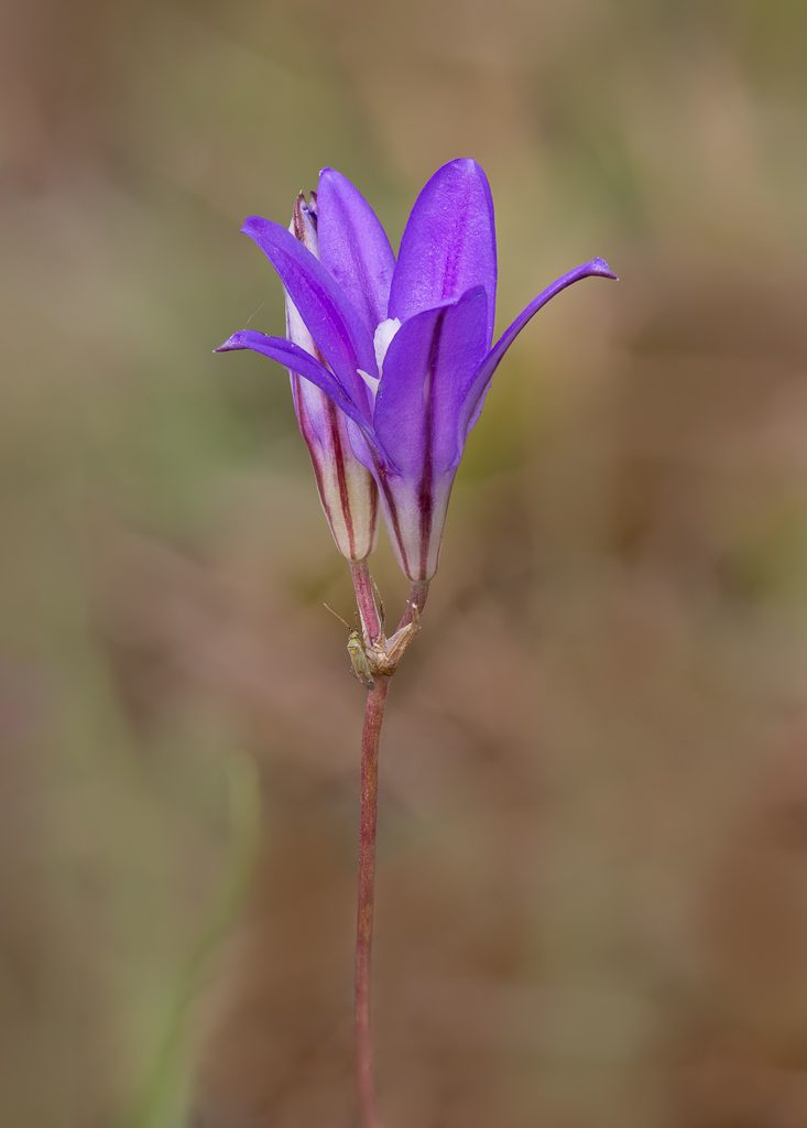 Harvest Brodiaea, photo by Dennis Plank