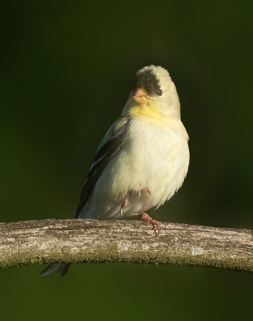 Partially leucistic male American Goldfinch.  Photo by Dennis Plank