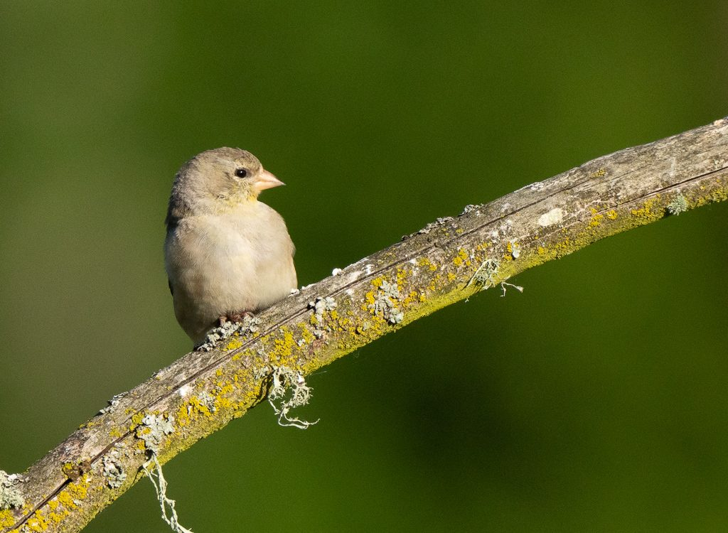 A very gray female American Goldfinch.  Photo by Dennis Plank