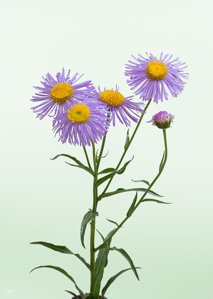 Showy Fleabane, photo by Dennis Plank