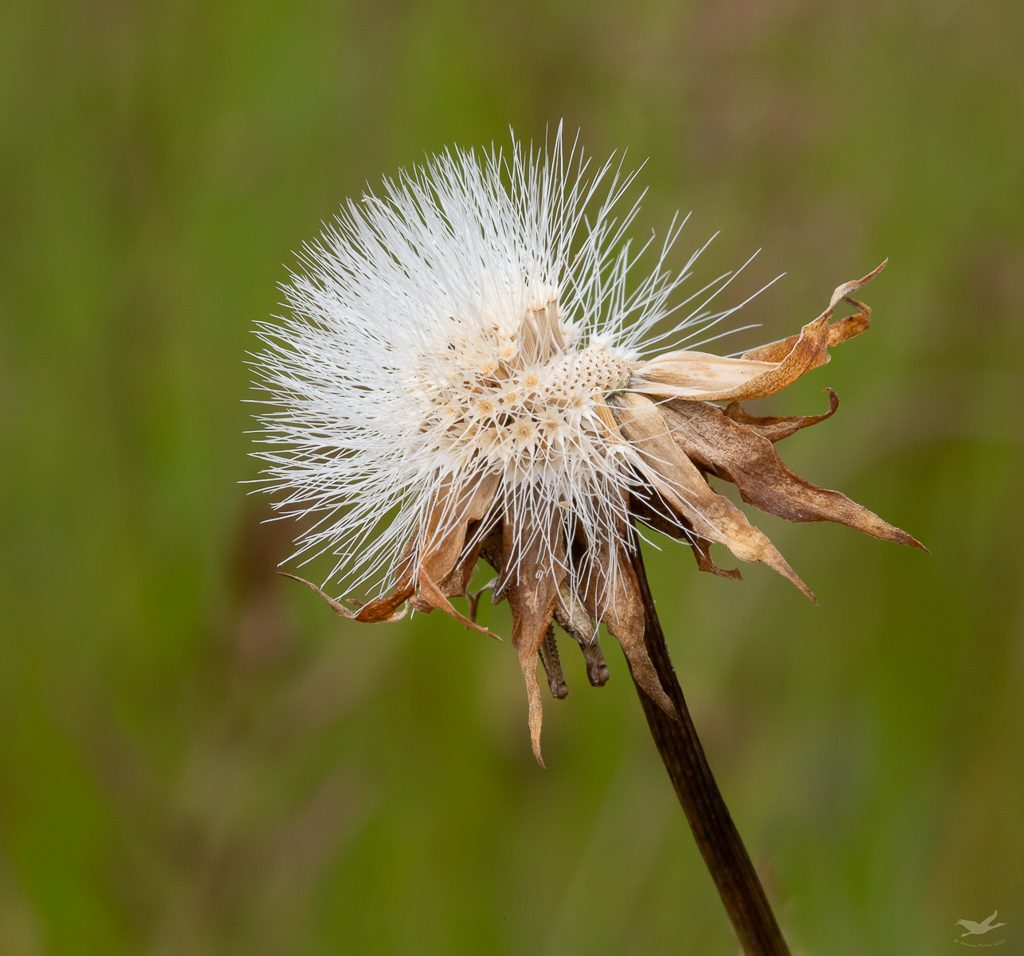 Microseris seed head with half the seeds already dispersed, photo by Dennis Plank