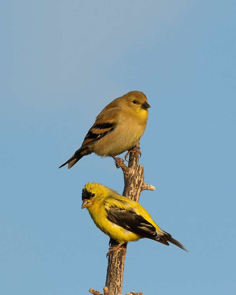 Adult Male and Juvenile Goldfinches 1