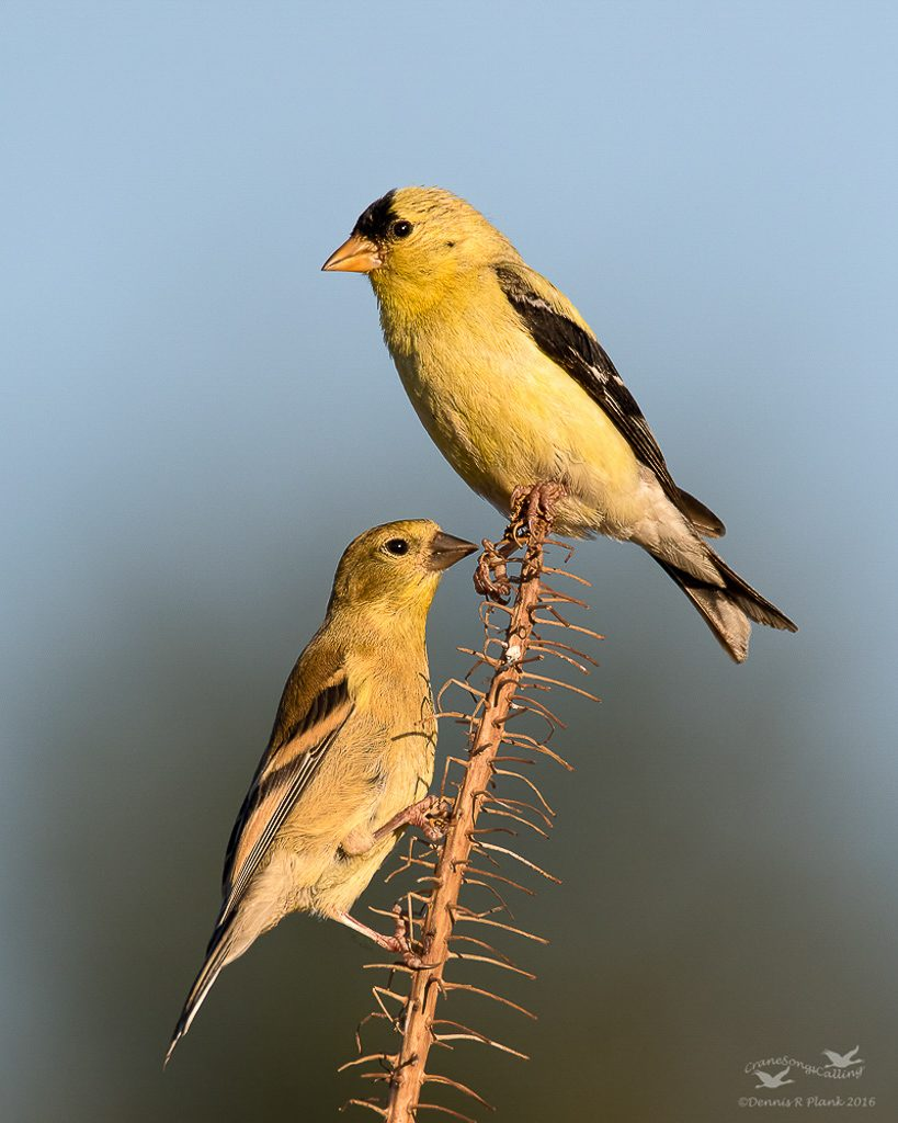 Adult Male and Juvenile Goldfinches 2
